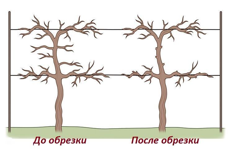 Формирование виноградного куста