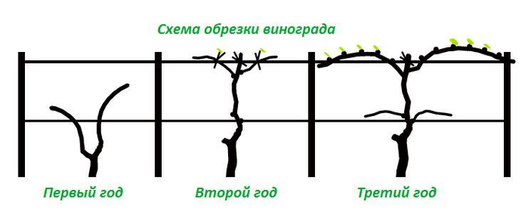 Правила обрезки винограда