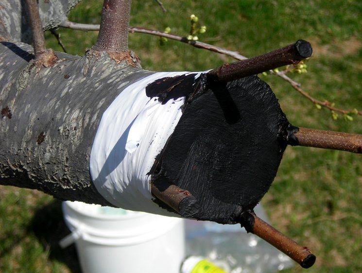 Обвязка и обработка места прививки дерева