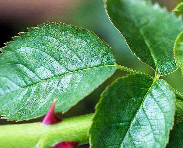 Удаление лишней листвы с розы