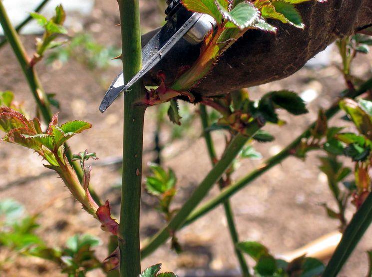 Нужно ли обрезать розы осенью?