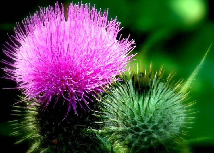 Осот розовый - бодяк полевой