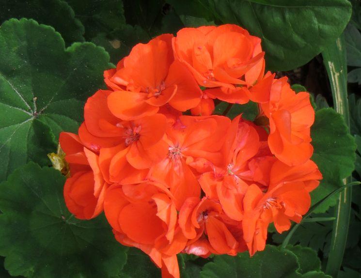 Пеларгония красная