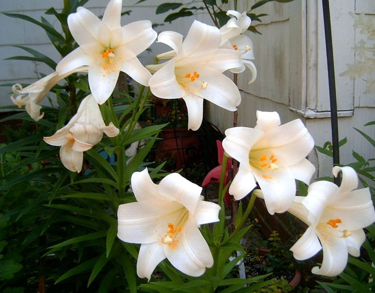 Пересадка лилии