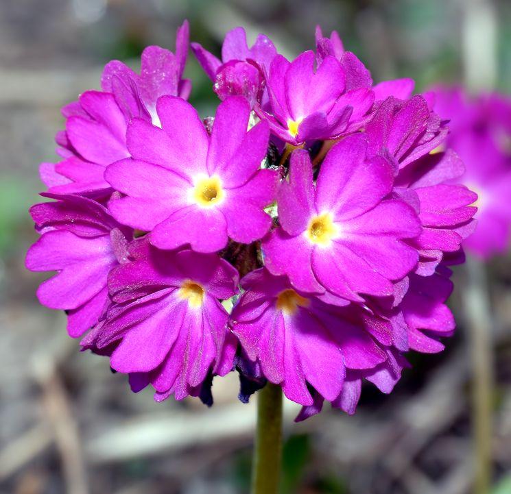 Первоцвет мелкозубчатый