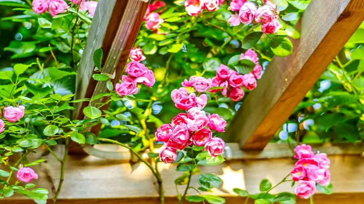 Роза плетистая (вьющаяся)