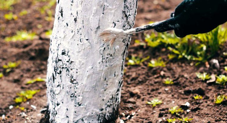 Как белить деревья осенью?