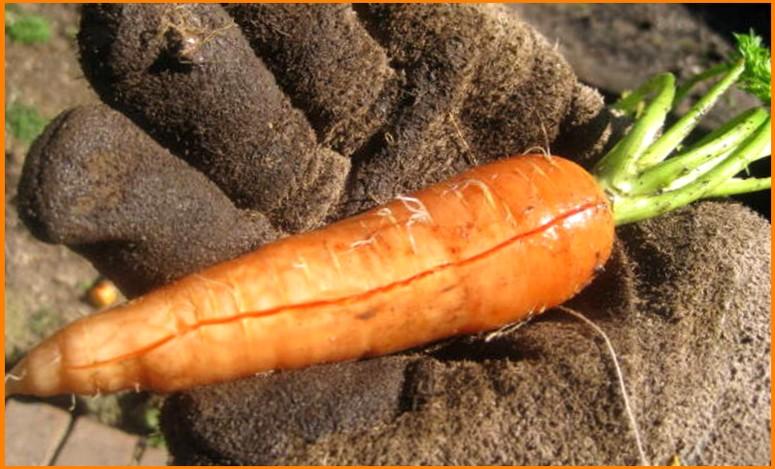 Почему трескается морковь - что делать с урожаем