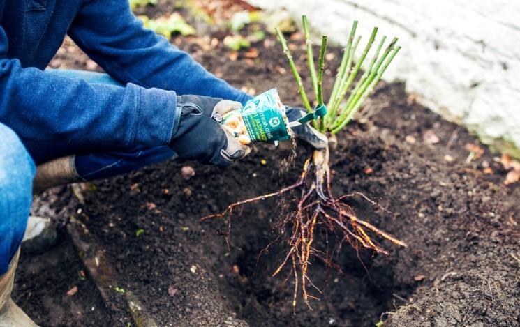 Почва для посадки розы