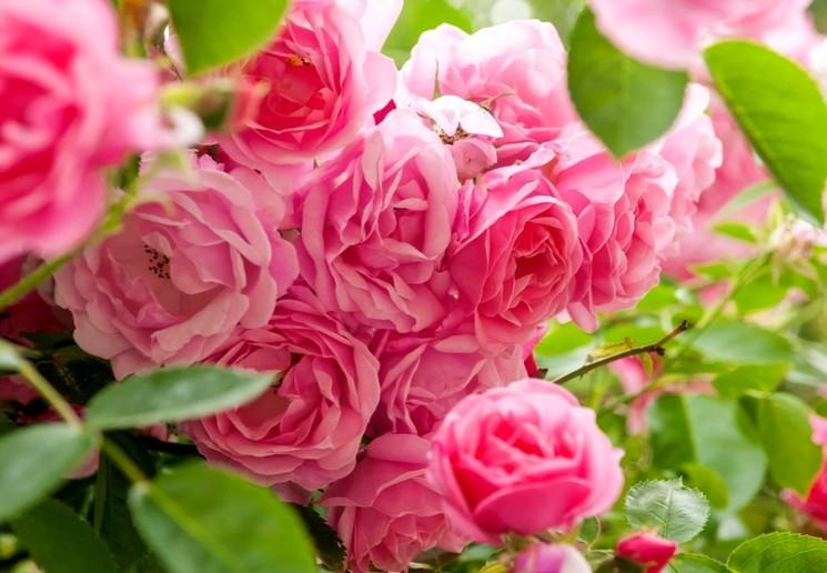Подготовка и посадка саженцев розы