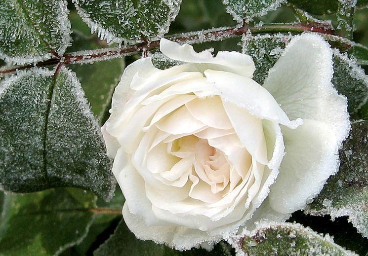 Подготовка розы к зиме — правила обрезки и чем укрыть розы на зиму