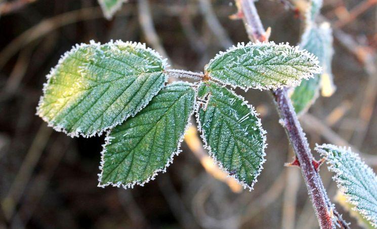 Изображение - Выращивание и уход за ежевикой podgotovka-yezheviki-na-zimu