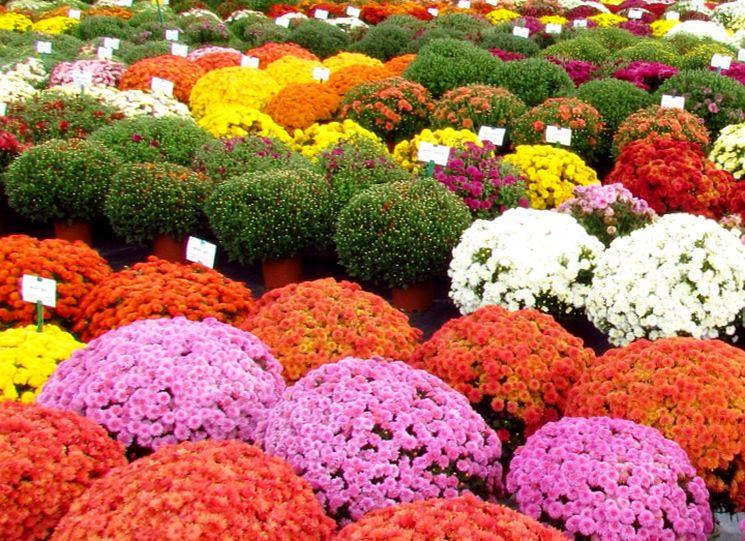Покупка хризантем в питомнике
