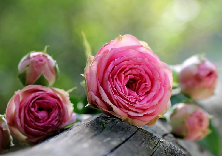 Посадка розы по лунному календарю
