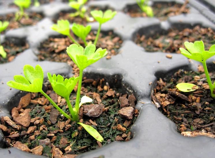 Рассада сельдерея - сроки посева семян
