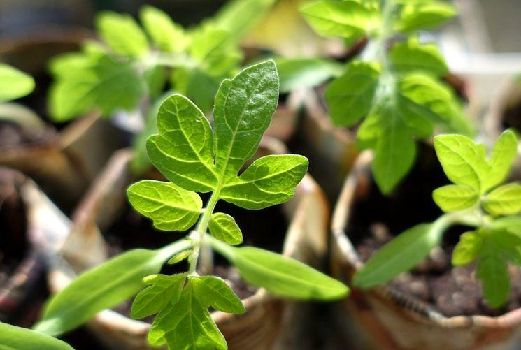 Правила посева семян и уход за рассадой