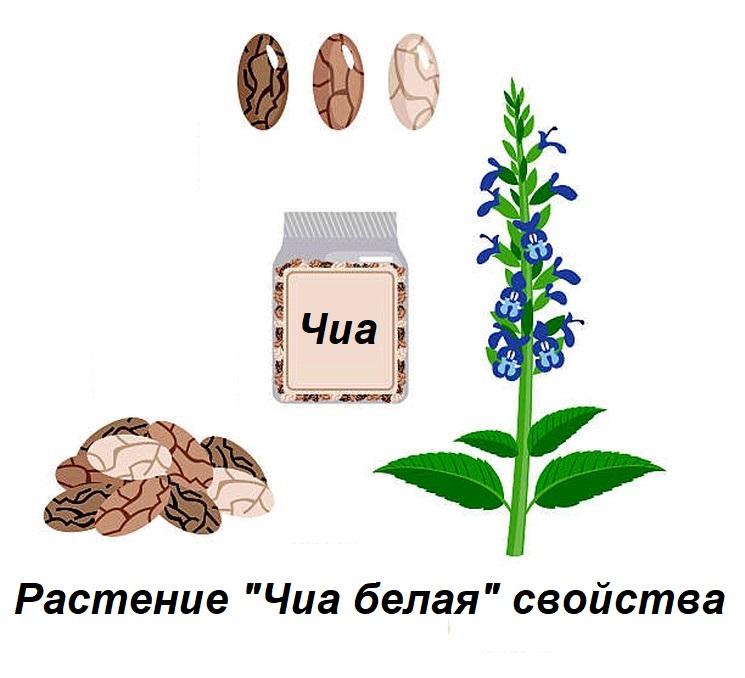 Растение Чиа белая - свойства