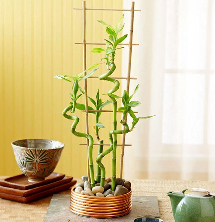 Разновидности комнатного бамбука