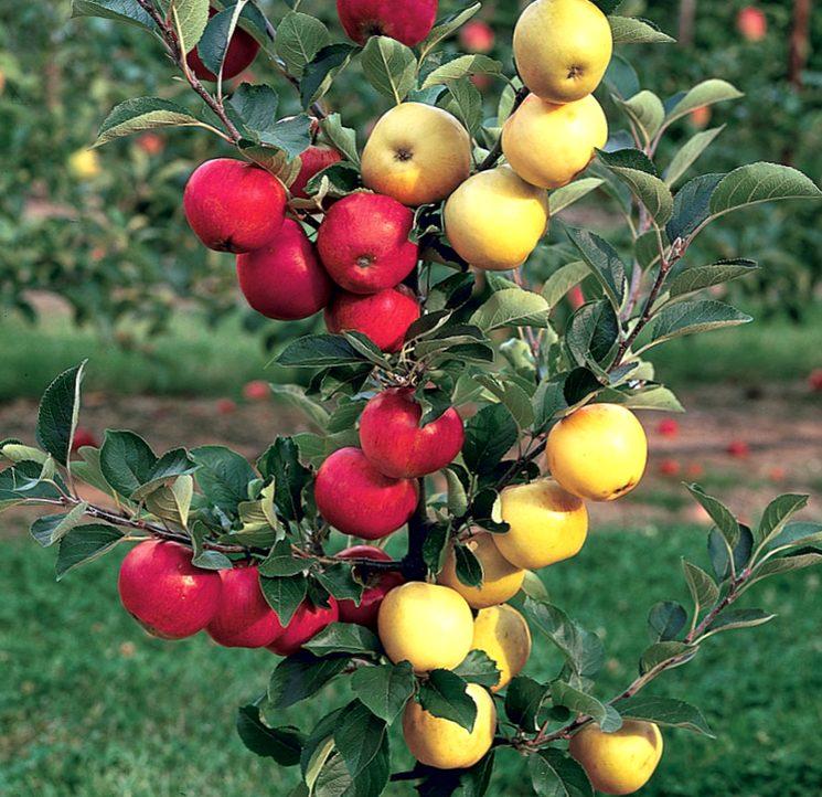 Разные сорта яблок на привитой яблоне