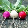 Редис - лучшие сорта для открытого грунта и теплицы