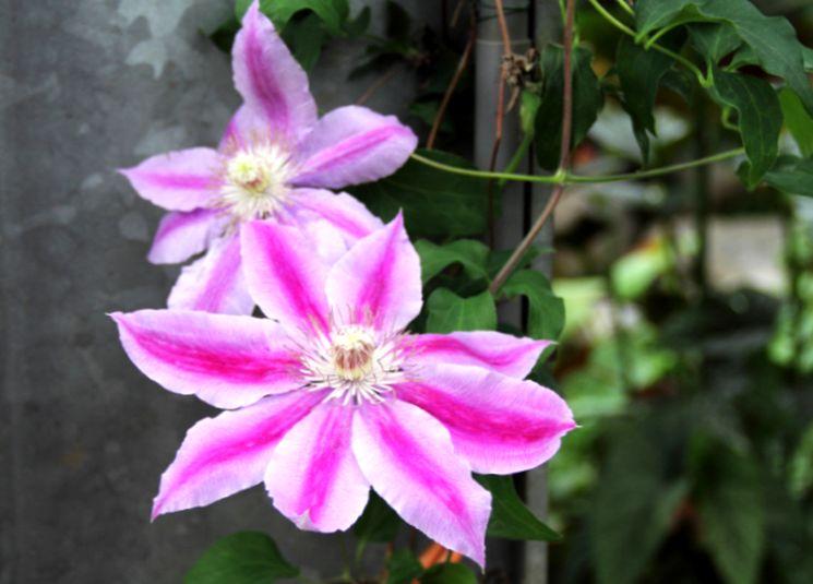 Розовый клематис