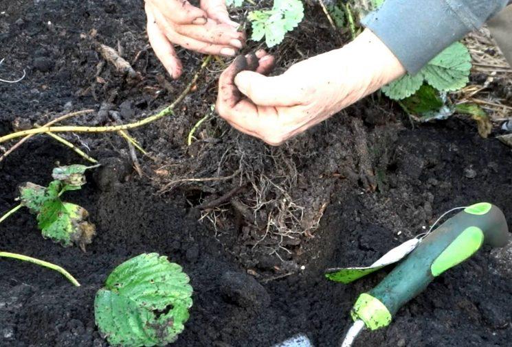 Рыхление почвы вокруг клубники весной