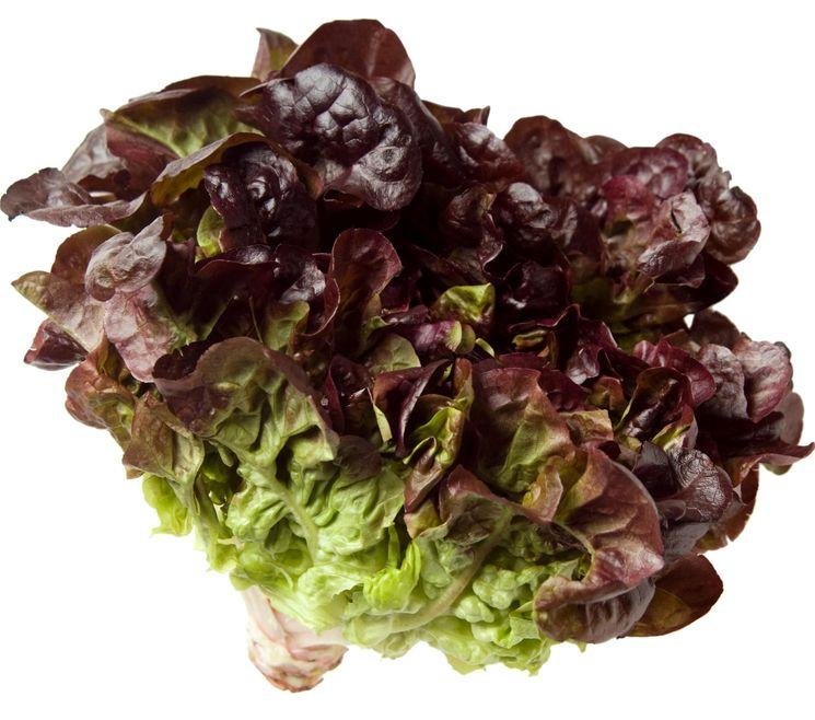 Оаклиф - дубовый салат