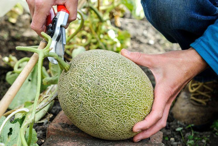 Сбор урожая и хранение дыни