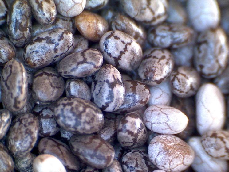 Семена Чиа - что нужно знать о семенах растения Чиа