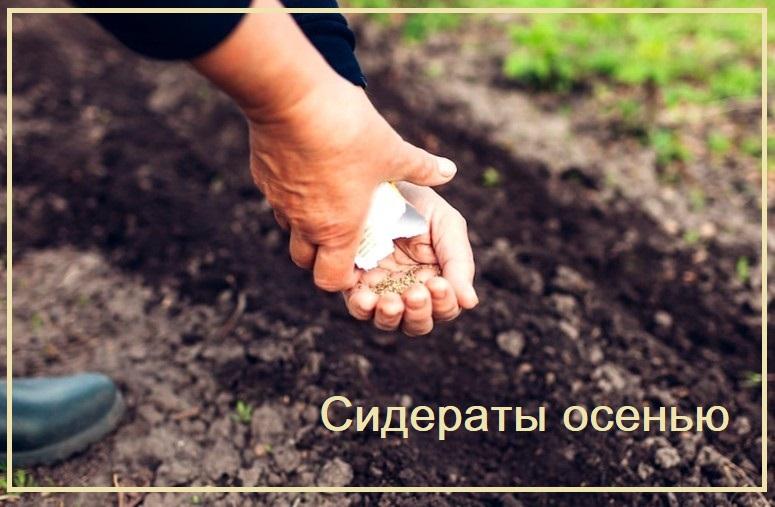 Сидераты осенью - что как сеять и зачем они нужны