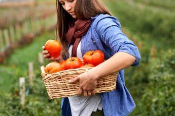 Сорта томатов для открытого грунта и теплицы