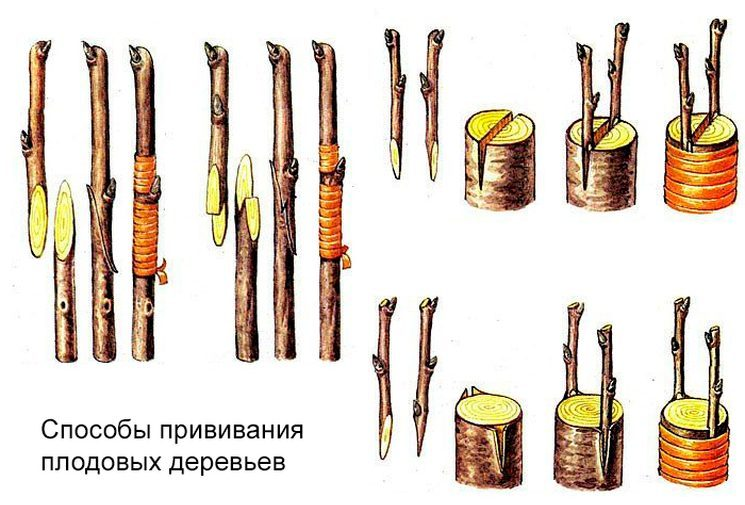 Схемы и способы прививки плодовых деревьев
