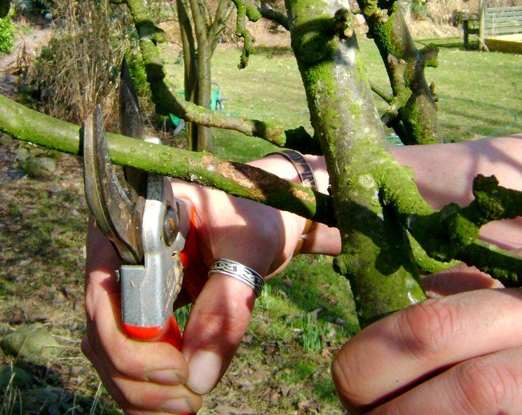 Сроки осенней обрезки яблони