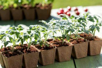 Сроки пикировки рассады помидор