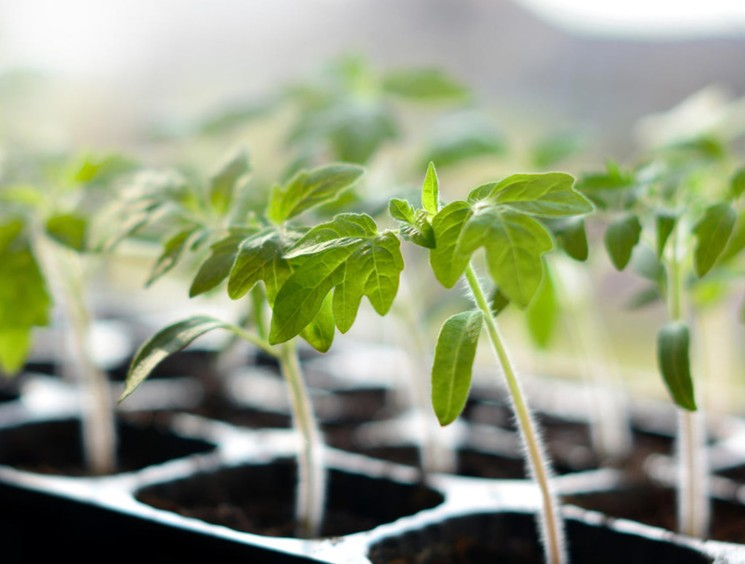 Сроки посева семян томатов на рассаду