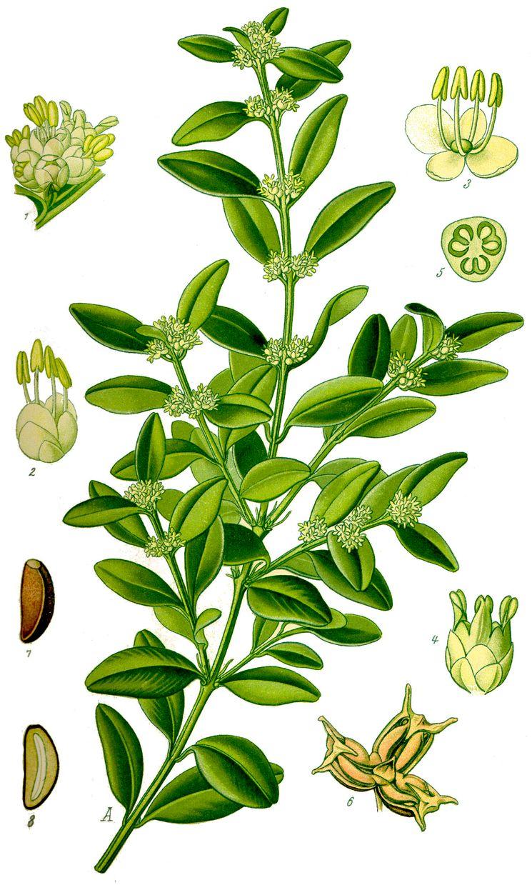Строение самшита вечнозелёного