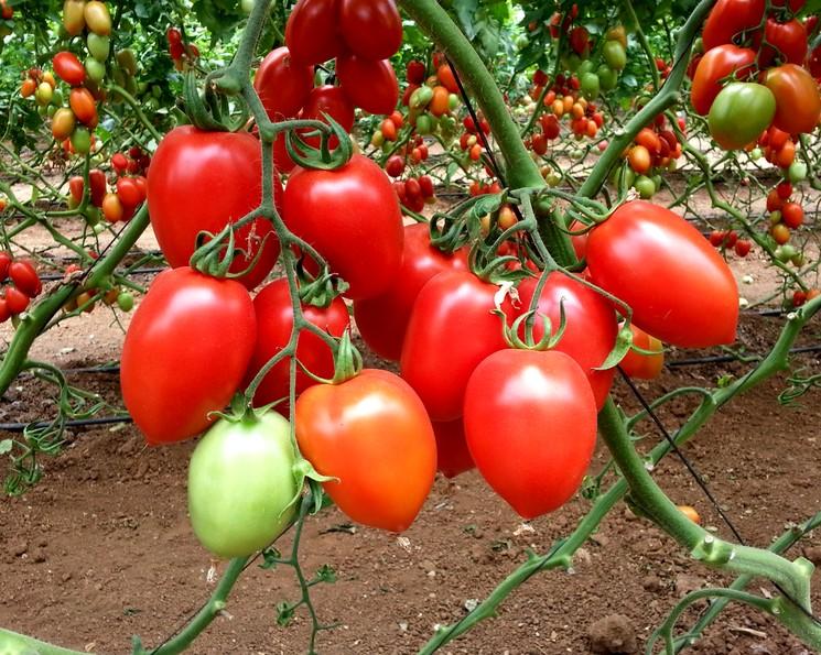 Сорт томатов Чио-Чио Сан