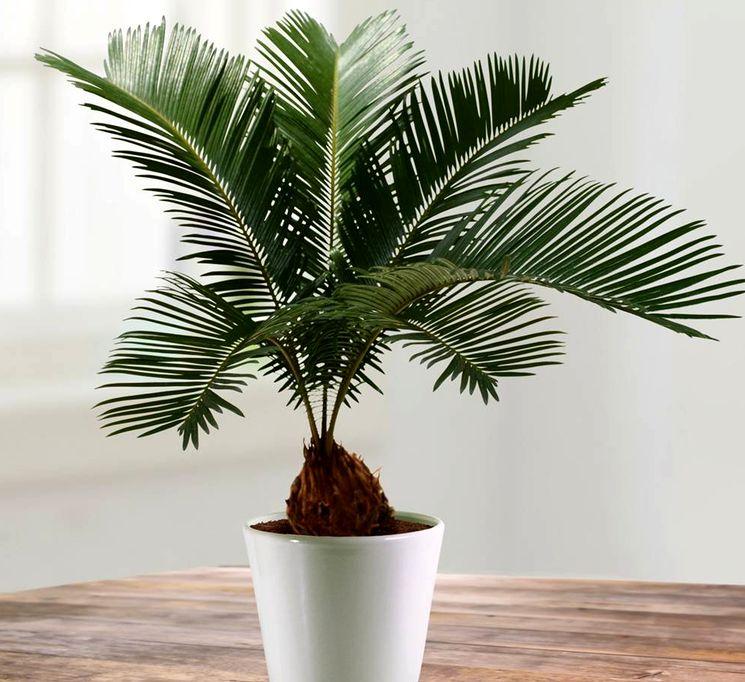 Цикас неторопливая пальма выращивание и уход
