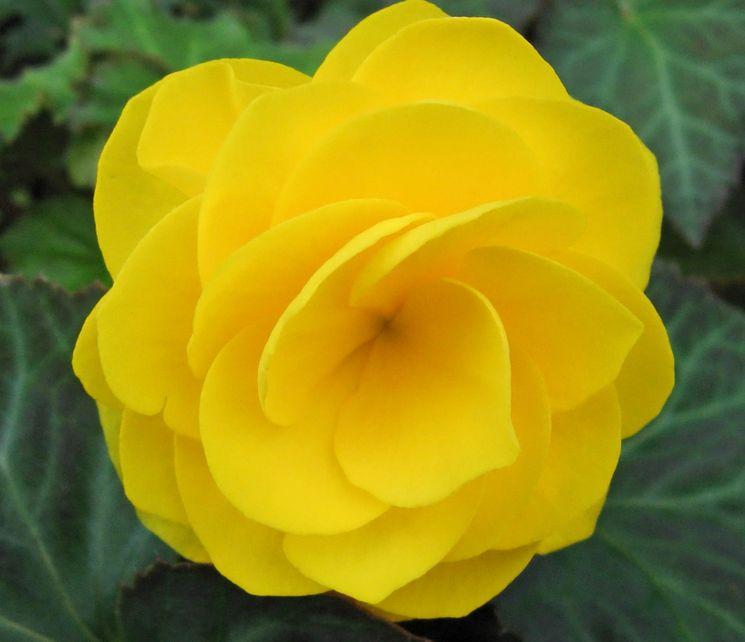 Цветок бегонии желтой