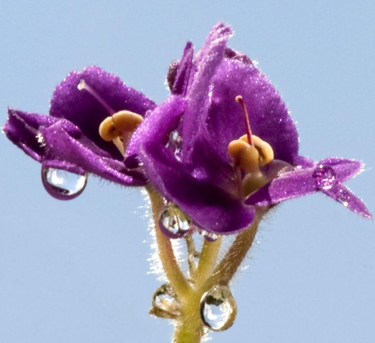 Цветок сенполии в росе