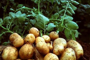 Удобрения для большого урожая картофеля