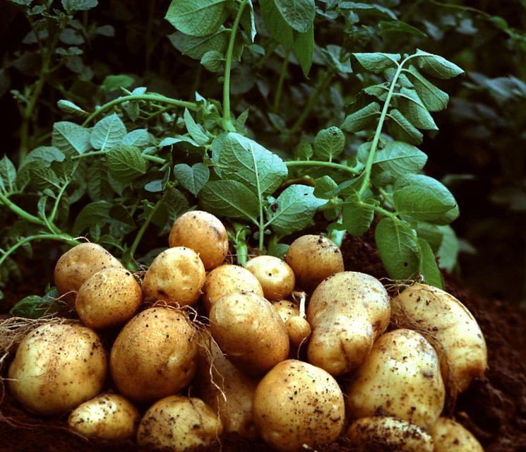 naushniki-trahnuli-primenenie-kemiri-dlya-virashivaniya-kartofelya-i-pomidorov-popki-kolgotkah