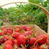 Удобрения для хорошего урожая клубники