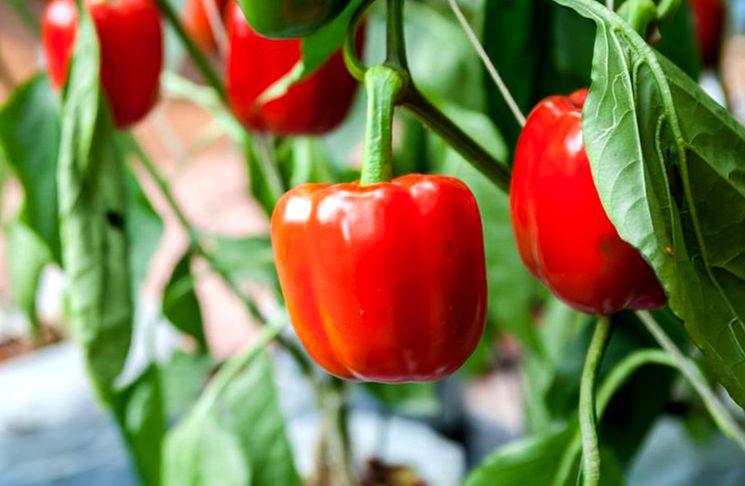 Удобрение перцев