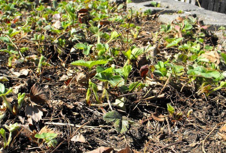 Весенний уход за клубникой после зимы: подкормка, обработка, полив