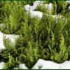 Укрытие хвойных растений на зиму