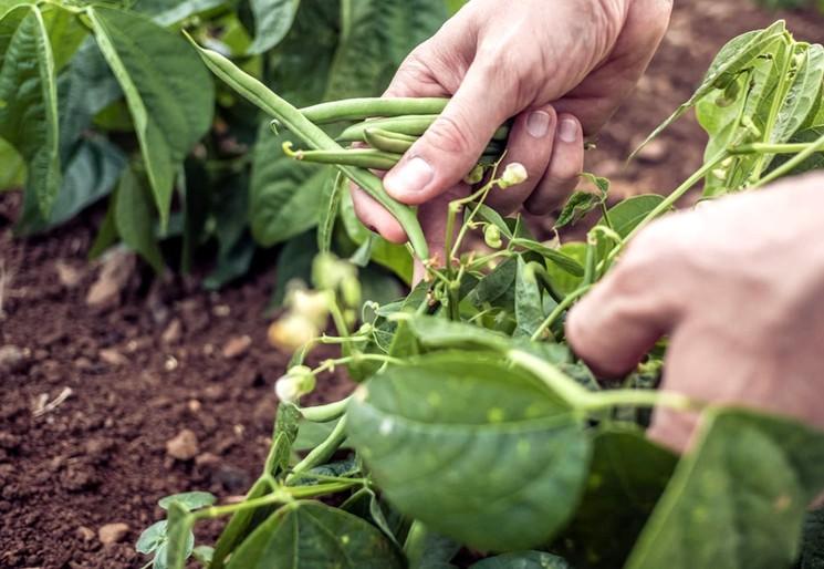 Когда и как собирать урожай стручковой фасоли