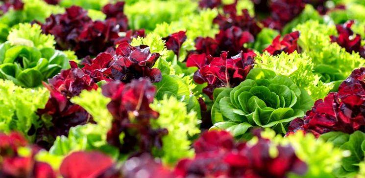 Сорта и виды салата