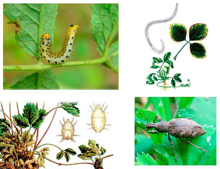 Вредители клубники садовой