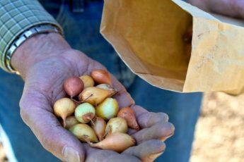 Выращивание лука из севка